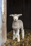 A Baby Romney Lamb Stands in a Barn On Some Hay Papier Photo par Karine Aigner