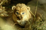 A Two-week-old Lion Cub with Blue Eyes