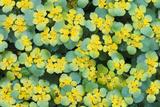 Alternate-leaved Golden Saxifrage  Chrysosplenium Alternifolium