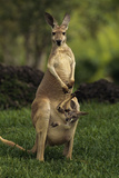 A Captive Red Kangaroo (Macropus Rufus) Mother Carrying Her Young in Her Pouch