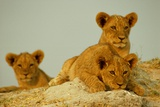 Three Young African Lion Cubs (Panthera Leo) Playing in the Sun