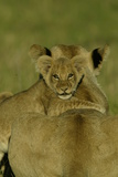 An African Lion Cub  Panthera Leo  Climing Onto It's Mother's Back