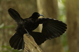 An Adult Male Paradise Riflebird Performs a Practice Display