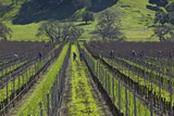 Field Workers Pruning Grapevines in a Vineyard Along Zaca Station Road