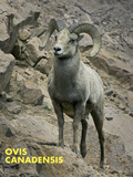 Big Horned Ram (Ovis Canadensis)