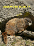 Woodchuck (Marmota Monax)
