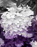 Aubergine Flower II