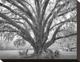 Elder Oak with Palmettos