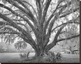Elder Oak with Palmettos