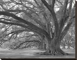 Josephine Oak  Oak Alley Plantation