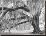 Oak and Moss Evergreen Plantation