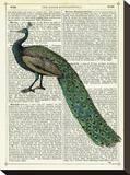 Roaming Peacock