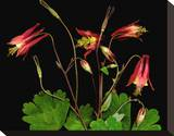 Red Columbine Garden Wildflowers