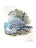 Northern Fulmar Fulmarus Glacialis with Chick  Illustration