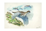 Flock of Rock Ptarmigans Lagopus Muta in Flight  Illustration
