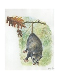 Virginia Opossum Didelphis Virginiana Hanging from Branch  Illustration