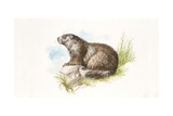 Alpine Marmot (Marmota Marmota) Sitting on Rock  Illustration