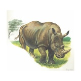 White Rhinoceros Ceratotherium Simum  Illustration