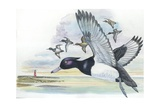 Tufted Duck Aythya Fuligula in Flight  Illustration