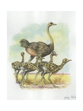 Ostrich Struthio Camelus with Young  Illustration
