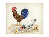 Rooster  Hen and Chicks Gallus Gallus  Illustration