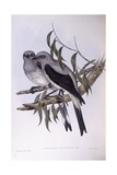 Ground Cuckooshrike (Coracina Maxima)  Engraving by John Gould