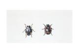 Beetle (Hyperaspis Campestris)  Illustration
