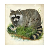 Raccoon Procyon Lotor  Illustration