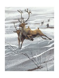 Reindeer (Rangifer Tarandus)  Illustration