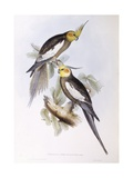 Cockatiel (Nymphicus Hollandicus)  Engraving by John Gould