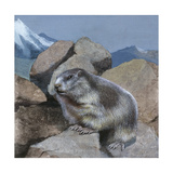Alpine Marmot (Marmota Marmota)  Illustration