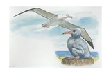 Wandering Albatross Diomedea Exulans with Chick  Illustration