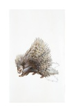 North African Crested Porcupine (Hystrix Cristata)  Illustration