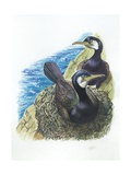 Couple of Great Cormorants Phalacrocorax Carbo  Female Is in Nest Warming the Eggs