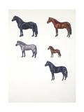 Medium Group of Ponies (Equus Caballus)  Illustration