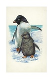 Adelie Penguin Pygoscelis Adeliae with Young  Illustration