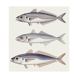 Atlantic Horse Mackerel (Trachurus Trachurus) Big and Small