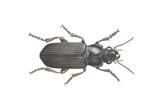Beetle (Zabrus Tenebrioides)  Illustration