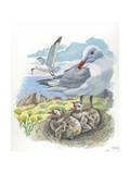Audouin's Gull Ichthyaetus or Larus Audouinii with Chicks in Nest  Illustration