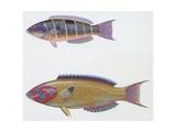 Fishes: Perciformes Labridae  Ornate Wrasse (Thalassoma Pavo)  Illustration