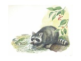 Raccoon Procyon Lotor Searching for Food in Stream  Illustration