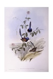 Blue-Breasted Fairywren (Malurus Pulcherrimus)  Engraving by John Gould