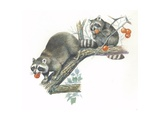 Raccoons Procyon Lotor Eating Fruit on Branch  Illustration