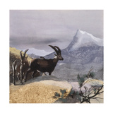 Alpine Ibex (Capra Ibex)  Illustration
