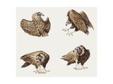 Zoology: Birds  Eurasian Black Vulture (Aegypius Monachus)  Illustration