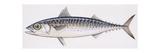 Fishes: Perciformes Scombridae  Chub Mackerel (Scomber Japonicus)  Illustration