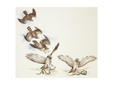 Zoology: Birds  Short-Toed Eagle (Circaetus Gallicus) Hunting  Illustration