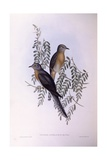 Fan-Tailed Cuckoo (Cacomantis Flabelliformis)  Engraving by John Gould