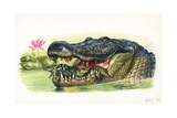 American Alligator Alligator Mississippiensis Carrying Young in its Mouth  Illustration