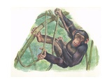 Common Chimpanzee Pan Troglodytes  Illustration